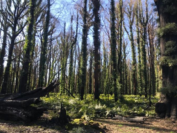 Forest at Tumbarumba