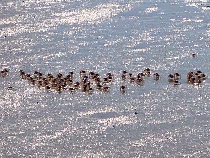 Crabs on the Wetlands